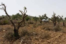 مستوطنون يقطعون أكثر من 150 شجرة زيتون في برقة شرق رام الله