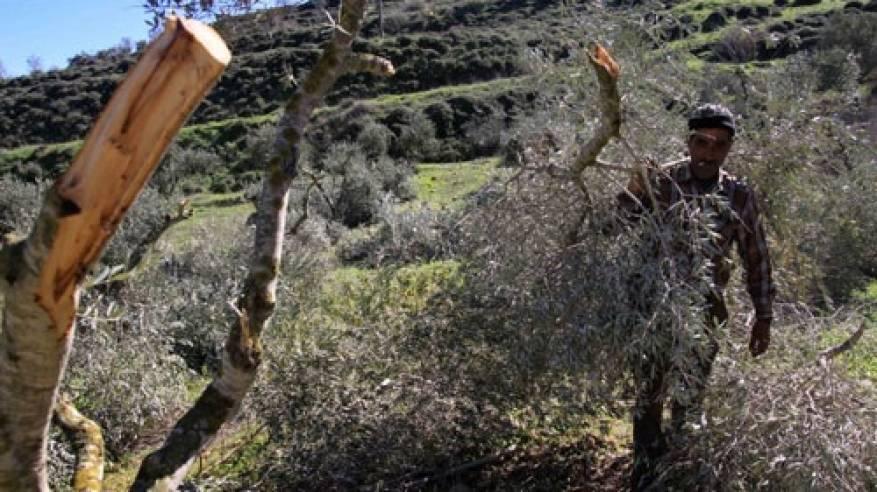 الاحتلال يخطر باقتلاع 70 شجرة زيتون في الأغوار الشمالية