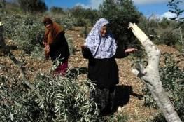 الاحتلال يقتلع 200 شجرة زيتون ويجرف 13 دونما في بيت أولا